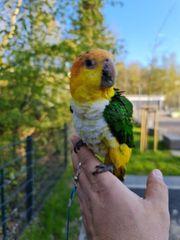 Rostkappenpapagei Weißbauchpapagei Caique Männlich Papagei