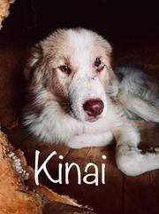 Kinai Rüde aus dem Tierschutz