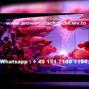 Gesund Arowana Fisch zu verkaufen