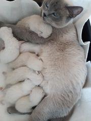 BKH Kitten in blau 07