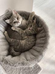 BKH Kitten m w