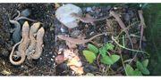 Perleidechsen Timon lepidus und Smaragdeidechsen