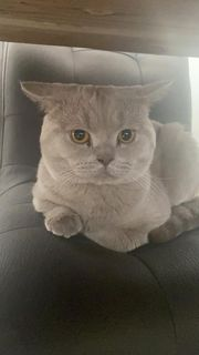 Bulut sucht Katzen Damen nicht