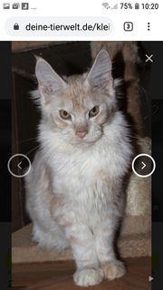 3 Maine Coon Kätzchen suchen