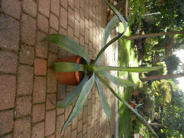 Agave - 1 große Pflanze inkl
