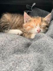 EKH Kitten 9 Wochen alt -