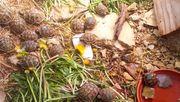Griechische und Maurische Landschildkröten