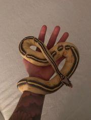 Python Regius Pastel-Freeway 0 1
