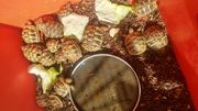 Grieschiche Landschildkröten