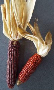 Rarität Roter Tessiner Mais