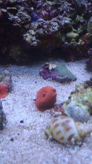 Diverse Korallen Meerwasser Anemone
