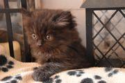 Noch ein kleines BLH Kätzchen
