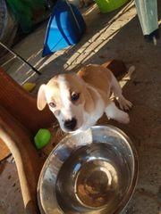 Kurzbeinige Jack Russel Terrier