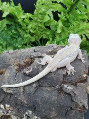 1 0 Rhacodactylus auriculatus Höckerkopfgecko