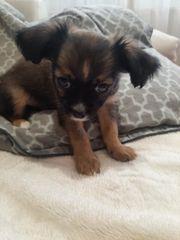 Chihuahua Welpen aus liebevoller Familie