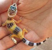 Leopardgeckos 0 4 Geb Jul