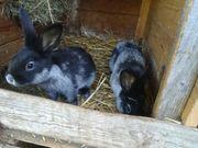 Kaninchen Helles Großsilber