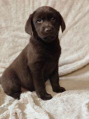 Traumhafte Labradorwelpen chocolate braun - abgabebereit