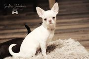 Chihuahua Welpen - Bube in Creme