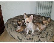 Chihuahua Welpen Rüden mit Ahnentafel