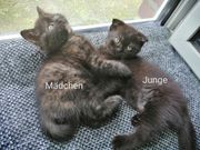 Scottish Fold Katze Babys