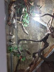 Boa Constrictor Honduras Imperator Terrarium