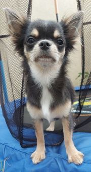 Chihuahua Mädels abzugeben