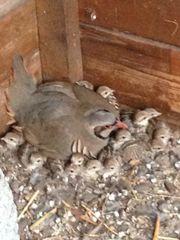 steinhühner küken keklik civcivi