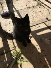 Schwarze Baby Katze zu verkaufen