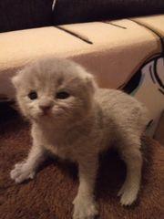 Süsse kleine bkh kitten