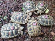 weibliche griechische Landschildkröten THB Ostrasse