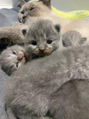 bkh kitten noch 3 kitten