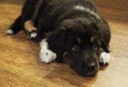 Suche weiblichen Mischlingswelpe Labrador Golden