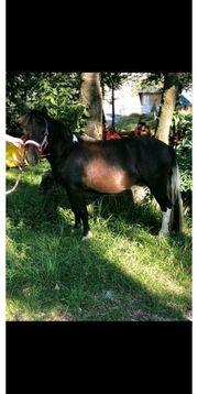 Hübsche Pony Stute