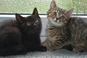 Bkh Mischling Kitten