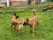 Wurfankündigung reinrassige Belgische Schäferhund Welpen
