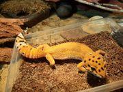 Leopardgecko 0 1 Emerine Tangerine