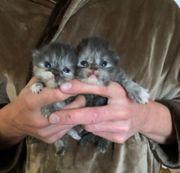 zuckersüße Perser Kätzchen mit Nase