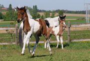 Stute Fohlen Braunschecke - wird Pony