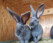 Deutsche Riesen Kaninchen blau Rammler