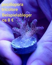 pocillopora tricolore Korallen Meerwasser LPS