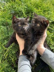 Skottisch Fold Kitten