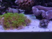 5EUR Korallen Ableger-Nachzucht Meerwasser Zoanthus-Krustenanemone