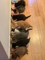 4 süße Scottish Fold Kitten