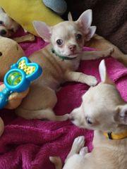 Reinrassige Chihuahua Babys Kurzhaar