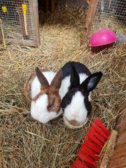 Holländische Kaninchen
