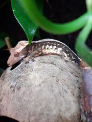Kronengecko Männchen