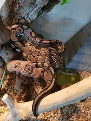 Python dringend abzugeben