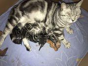 Wunderschöne BKH Kitten Black Silver
