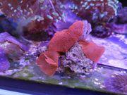 Korallen Korallenableger 3 rote Scheibenanemonen